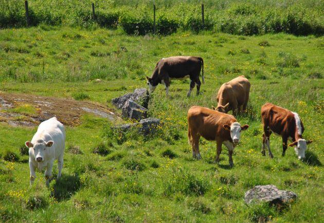 Nästan hälften av alla utsläpp av metan kommer ifrån boskap och risfält. Arkivbild.