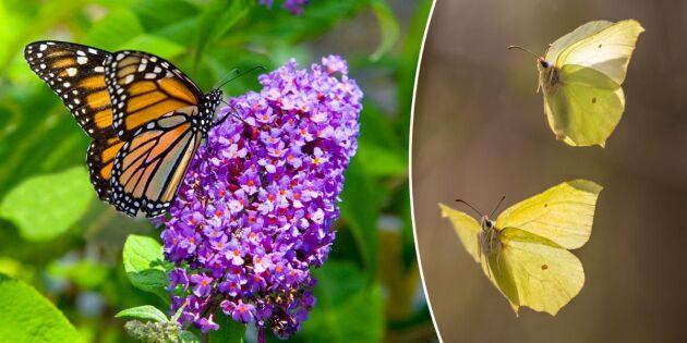 Locka fjärilar till trädgården – 6 favoritblommor
