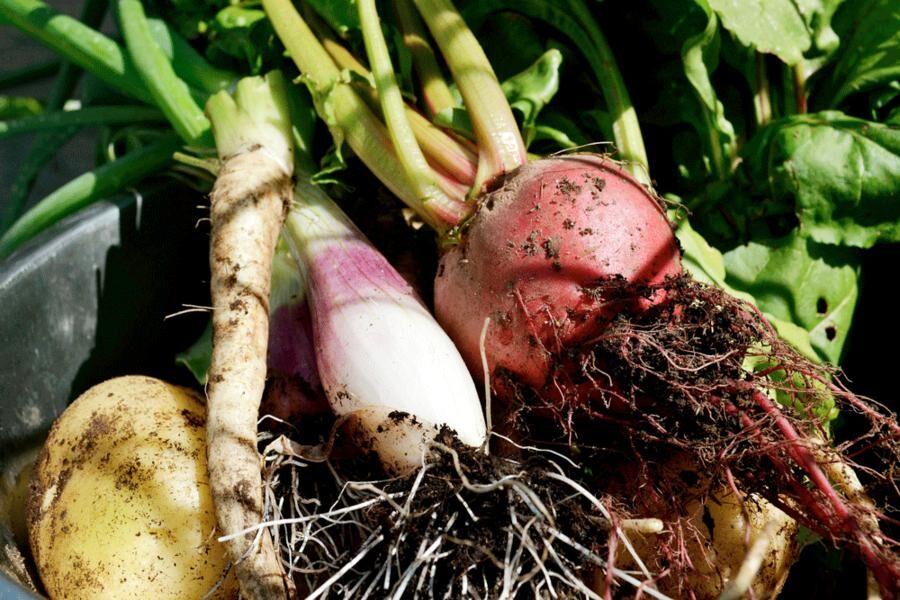 En tidig sommarskörd av grönsaker bestämmer vilken mat som tillagas.