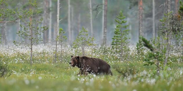 Björnjakten i Jämtland ska polisövervakas