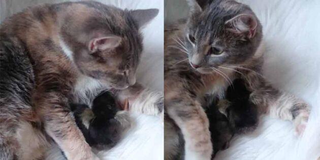 Så gulligt! Titta vad Ingelas katt gör med de nykläckta kycklingarna!