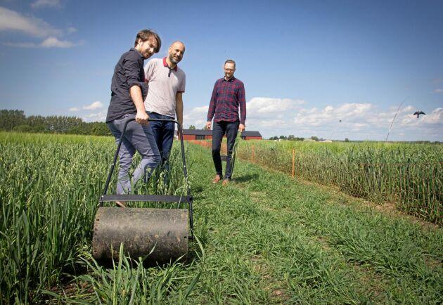 Forskarna Olivier Van Aken, Essam Darwish och Nick Sirijovski undersöker om mekanisk stimulering av grödor kan ge bättre skördar.