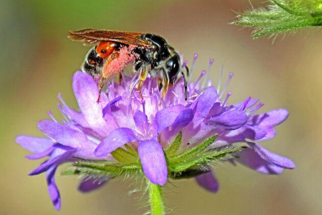 Väddsandbiet är ett av ett tiotal sällsynta arter av vildbi som har fått en fristad på golfbanan i Krukebo utanför Nybro. I arbetet med banan frilägger man avsiktligt sandytor för binas skull.