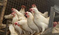 Förlorade 31 miljoner på fågelinfluensan