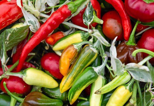 Chilins stora variationsrikedom gör den vanebildande att odla, samla och smaka.