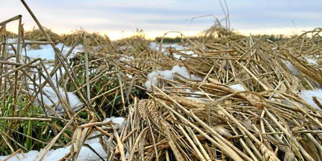 Snön faller på otröskat korn