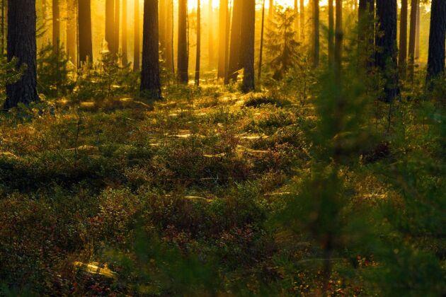 Nu är genomsnittspriset hela 629 kronor per skogskubikmeter för skogsmark i södra Sverige.