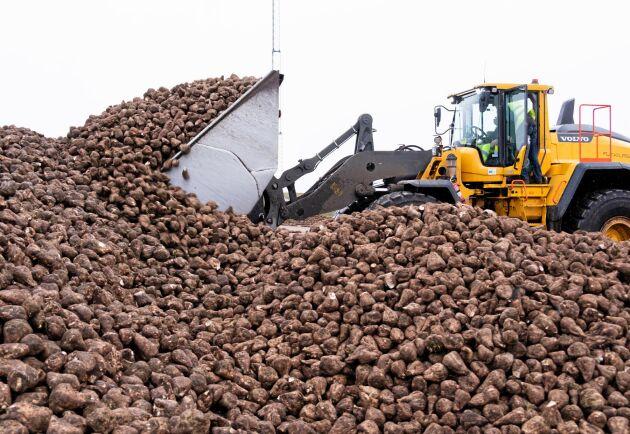 """På hög. Säsongens sista sockerbetor lastas av på """"plattan"""" i väntan på att köras in i fabriken."""