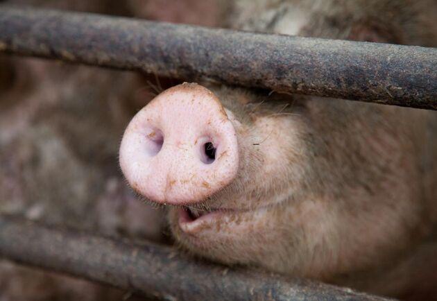 Sättet som grisarna bedövades på slakteriet fick veterinärstudenten att skriva en debattartikel i Expressen.