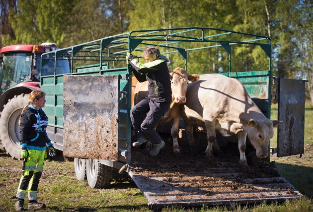 Miljöåtaganden i form av naturbete är en viktig del i företagande för Henrik Nisser på Alstrums gård utanför Karlstad. Här släpper Henrik och hans anställda Anna-Maria Nilsson ut några av djuren för att beta strandäng på Hammars udde.