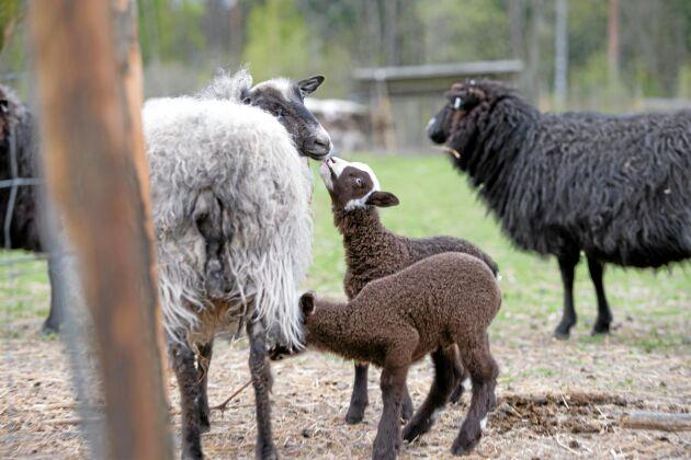 Två av årets lamm är bruna, det är första gången någonsin för Ann. – Varken mamman eller pappan är bruna, så det här blev en överraskning.