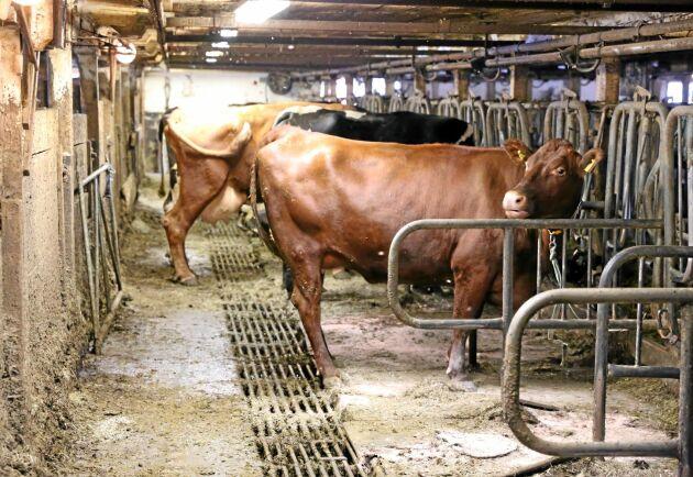 Krav på att hålla djur lösgående skulle kosta cirka 15 miljarder kronor och de ekonomiska konsekvenserna skulle bli störst inom mjölkproduktionen, enligt Jordbruksverkets utredning.
