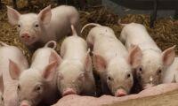 JO-anmäls för grisförslag