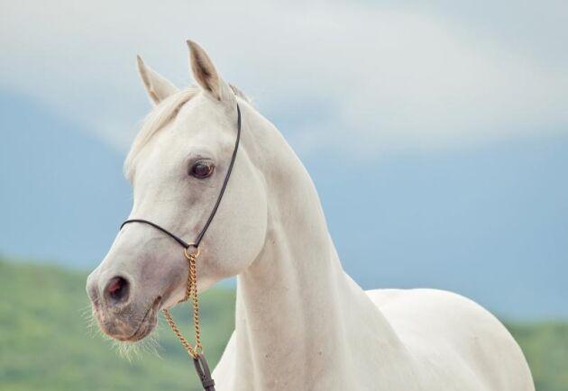 Det arabiska fullblodet anses vara en av världens äldsta hästraser.