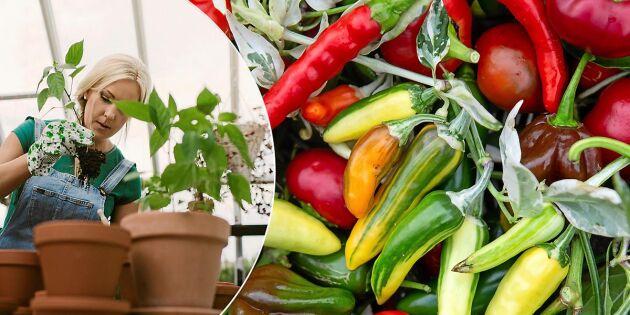 GUIDE: Odla chili – så går du tillväga från frö till planta