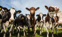 Var femte ko finns i Småland