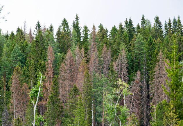 Så här kan skog som angripits av granbarkborre se ut när det gått så långt att träden dött. Men än lever träden och angreppen kan vara svåra att upptäcka.