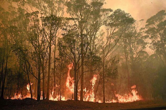 Just nu rasar skogsbränder i Australien och hotar inte bara den mänskliga populationen utan också djurlivet.