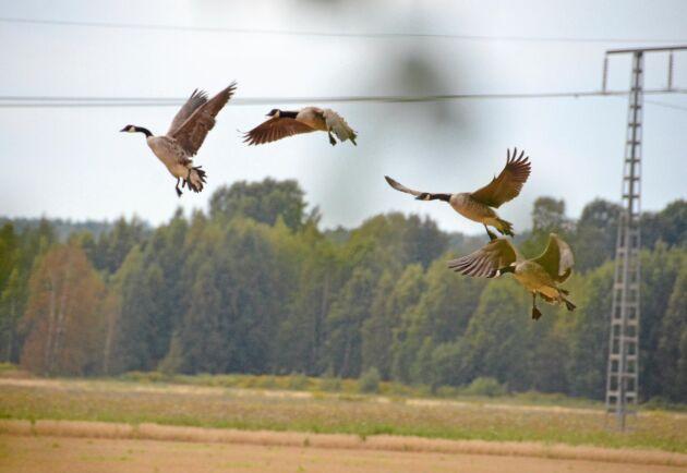 Kanadagäss som går in för landning.