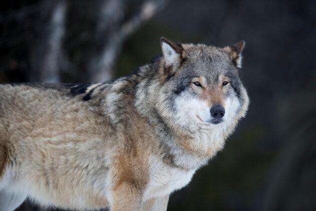 Fem personer har gripits och anhållits misstänkta för grova jaktbrott. Bland annat ska gruppen illegalt ha jagat varg.