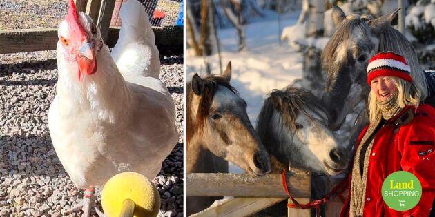 Träna hästar, får, höns – därför mår djur bättre med klicker