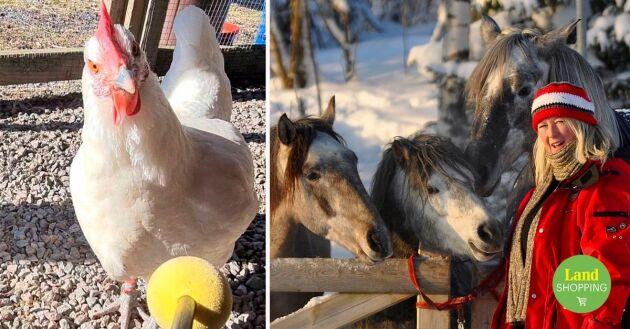 Ann-Louise Ryrvik tränade sin höna Bettan som levererade lite target. Även hästarna tränas med hjälp av klicker.