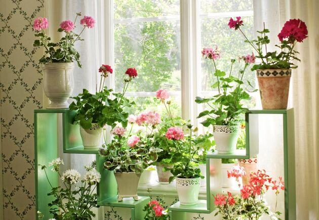 Är drömmen ett fönster fullt av anrika pelargoner? Ta hjälp av Land för att uppfylla den.