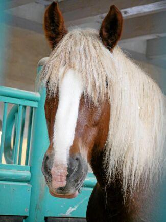 Varje box har ett turkost boxgaller som vackert matchar hästarnas brunröda päls, den blonda manen och den långa, vita bläsen.