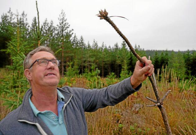 Markägaren Lars-Erik Sandberg tittar på en gammal älgbetesskada. Hans skogsmark betas hårt av älgar. Nu får han rätt till skyddsjakt på fyra älgkalvar.