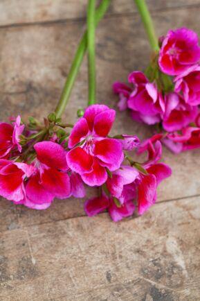 Blommorna har en ljus mitt och ljusare volanger längst ut.