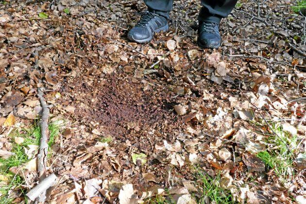 Så här ska marken se ut i bokskogen. Lövlagret är inte för tjockt, och hindrar inte bokollonen att ta sig ner i jorden.
