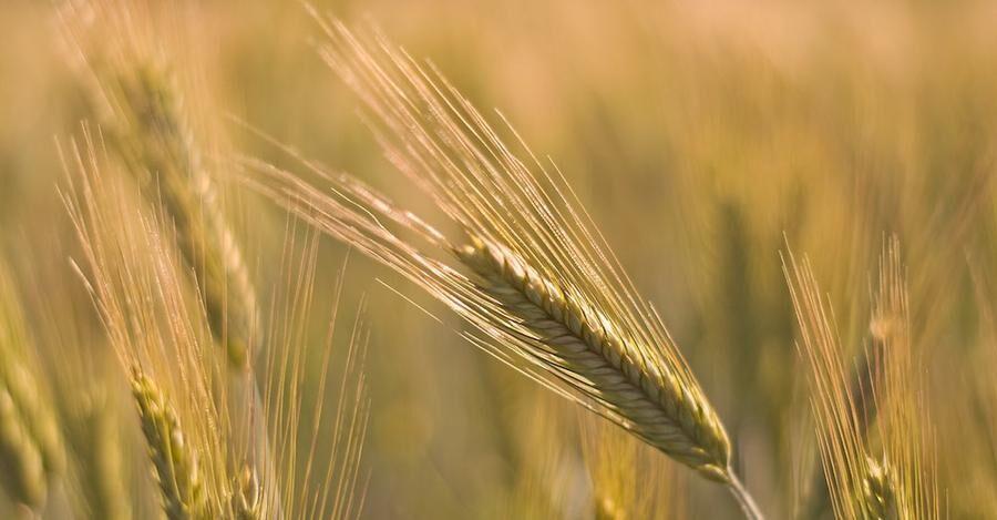 Korn som växer i Mälardalen blir whisky i Skottland.