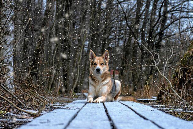 VINNARE. Fredrick Lybäck-Ax vann med denna närmast hypnotiskt vackra bild av sin hund Charlie i snöfall.