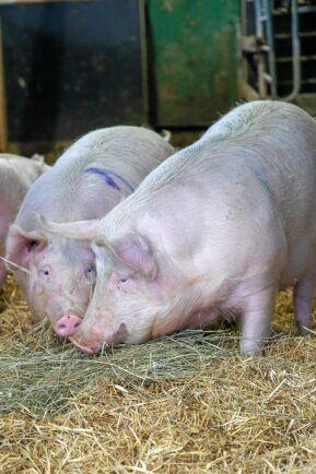Stämningen är lugn och grisarna samsas snällt då de har gott om plats och halm att böka i.