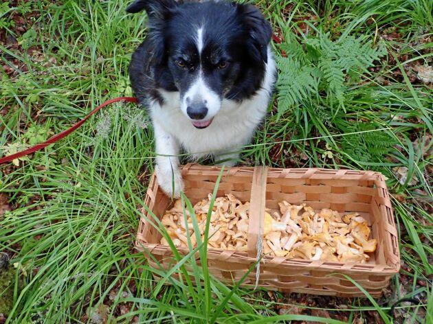 Helena och hennes Border collie Wilma jobbar hårt i skogarna nu. Wilma är en svamphund och kan cirka 30 arter förutom kantareller.