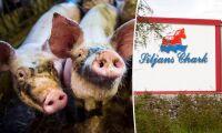 De tar över avtalen med Siljans grisleverantörer