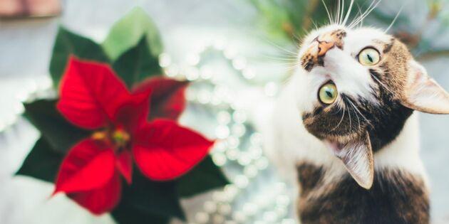 Här är julväxterna som är giftiga för ditt husdjur