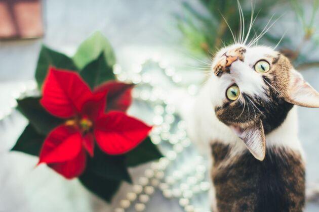 Julros är inte bra för katter.