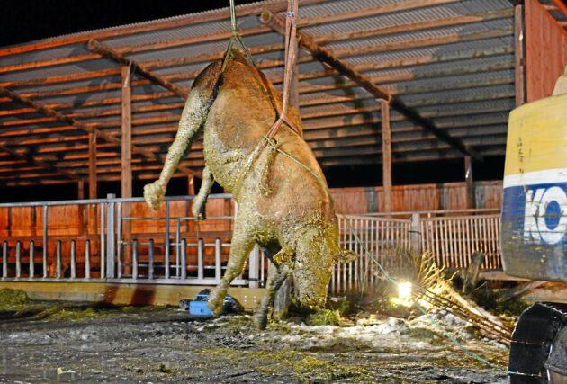 Tjuren Internet knuffades ner av en annan tjur i gödselbrunnen.