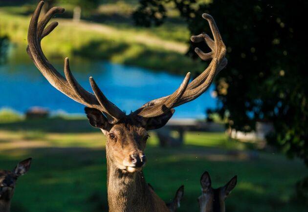 Ulvereds hjorthägn håller runt 200 djur, varav merparten är dovhjortar och cirka 10 kronhjortar. Nu ligger det ute till försäljning för 22 miljoner kronor.