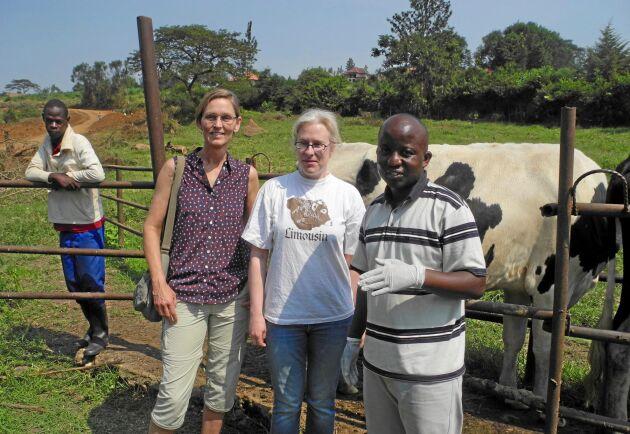 Renée Båge (SLU), Ylva Persson (SVA) och doktoranden Jean-Baptiste Ndahetuye (University of Rwanda) inför mjölkprovtagning och undersökning av juver i Rwanda.