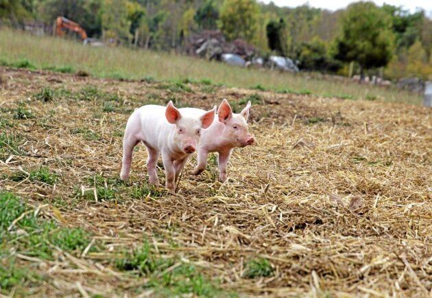 Så gott som hela gården är inhägnad för grisarna och det har ännu inte hänt att vildsvin tagit sig in. Suggorna hålls inomhus under brunst och seminering.