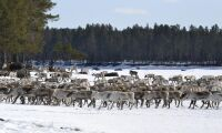 106 renar dog på tågspåret i Norge