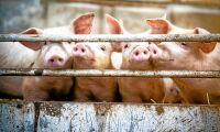Stor ökning av antibiotika i danskt lantbruk