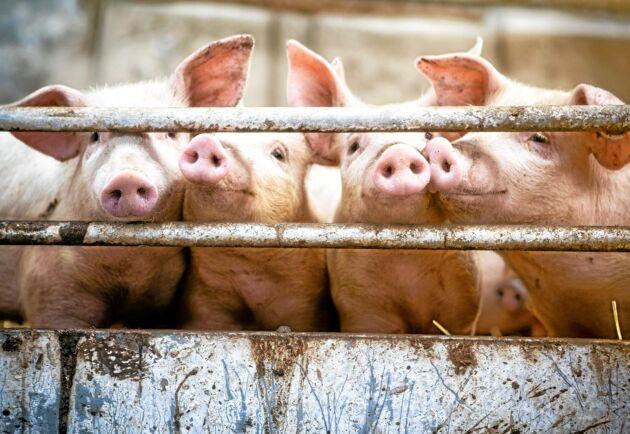 Användningen av antiobiotikaämnet Neomycin ökar i den danska grisnäringen. Arkivbild.