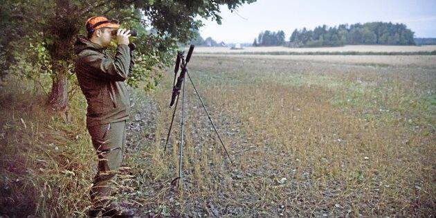 Svinlång väntan på skogsgrisen