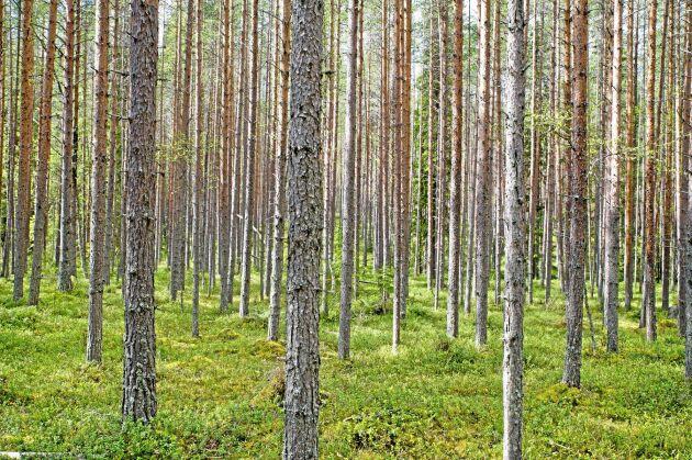 För den nyinvesterade cellulosaindustrin blir råvaran en allt mer central fråga. Privata skogsägare sitter på mycket av massaveden, men samtidigt är timmerpriserna, som betalar kalaset, på väg ned.