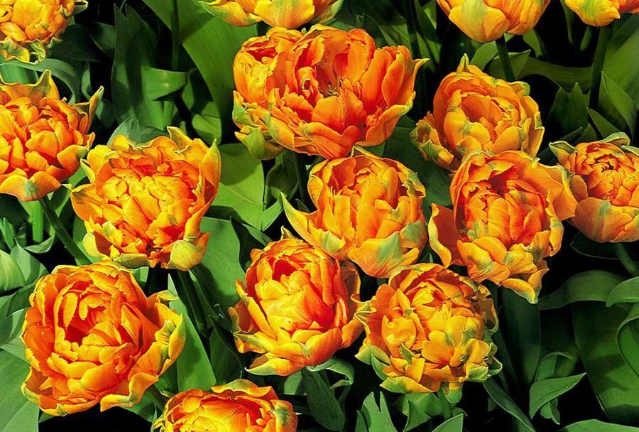 Orange Princess. Dubbel tulpan med orangea blomblad.