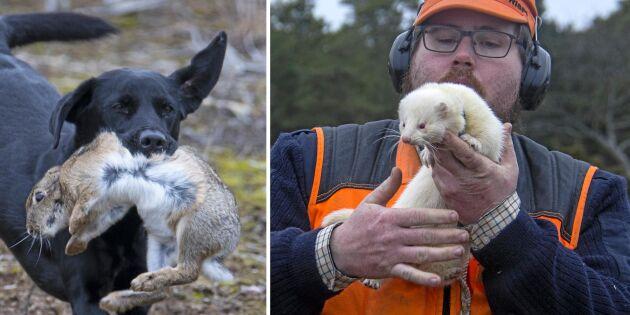 På jakt efter kanin med iller och hund
