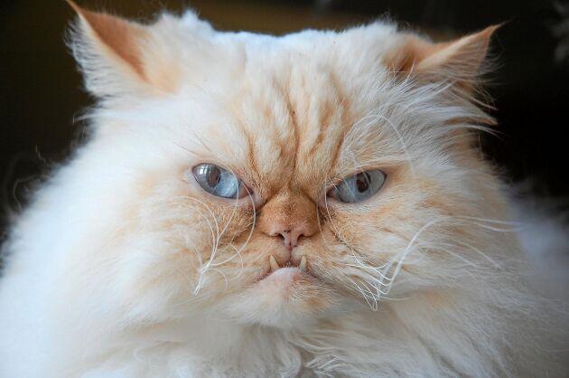 Akta dig! Den här katten grymmes.